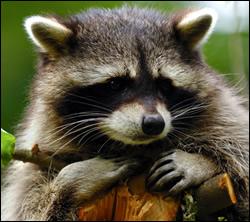 raccoon control Southlake