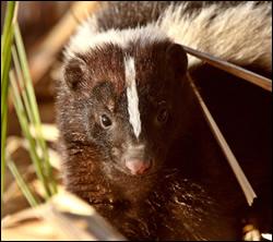 skunk control Southlake